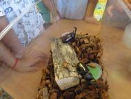 カブトムシ、クワガタムシの飼育中
